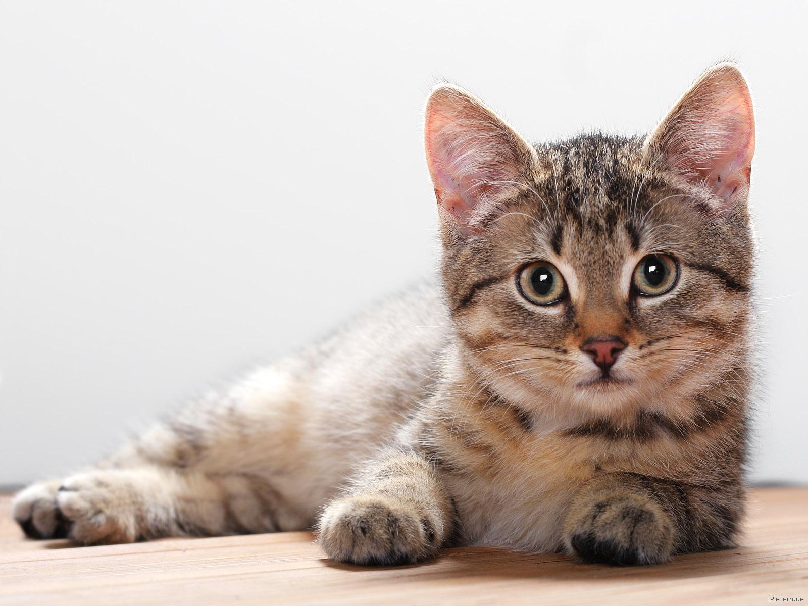 Afbeeldingsresultaat voor huisdier kat
